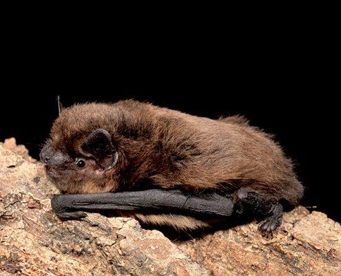 Common Pipistrelle Bat