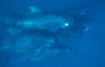 Long Finned Pilot Whale