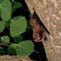 Leisler's Bat